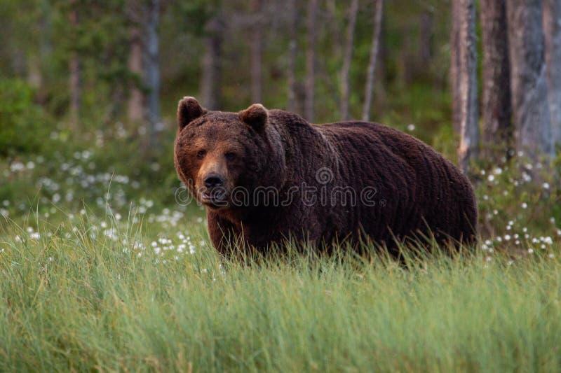 Un grand et affamé ours de Brown recherchant la nourriture images stock