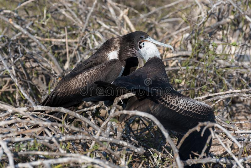 Un grand Frigatebird femelle alimente son poussin sur Seymour Island du nord, île de Galapagos, Equateur photos stock