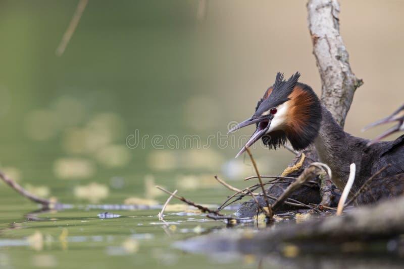 Un grand grèbe crêté adulte exigeant dans un étang de ville dans la capitale de Berlin Germany photographie stock