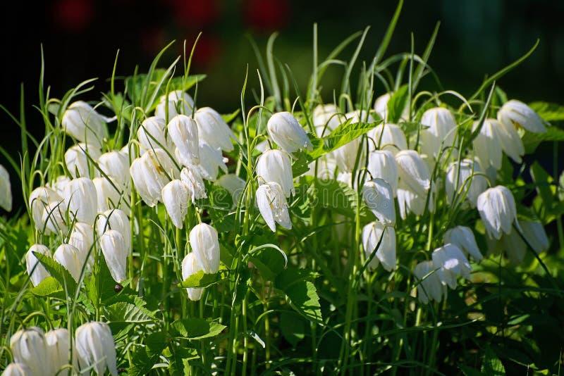 Un grand groupe de jolies jacinthes des bois blanches sur le soleil photos libres de droits