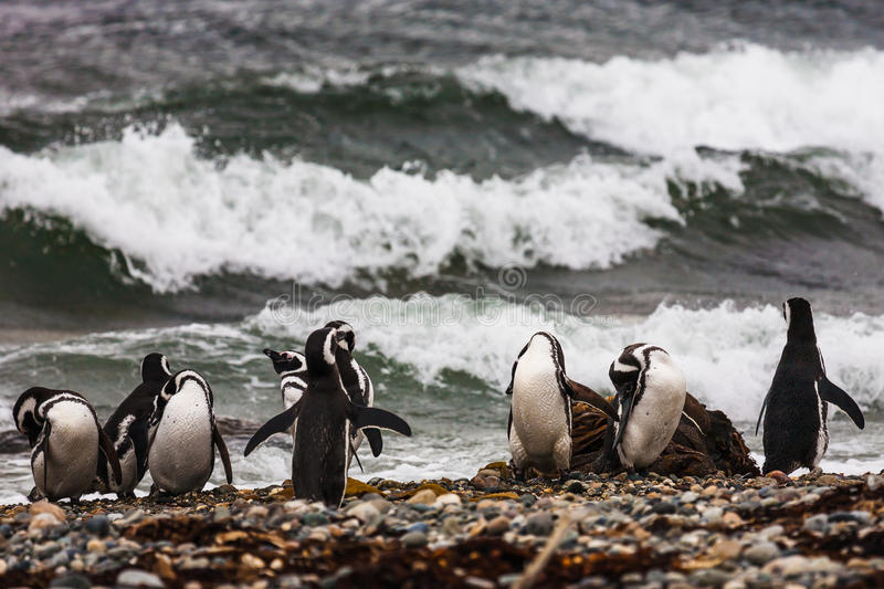 Un grand groupe de pingouins de Magellanic sur un Pebble Beach photos libres de droits
