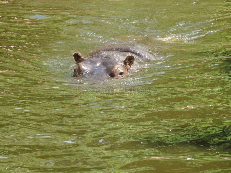 Un grand hippopotame image stock
