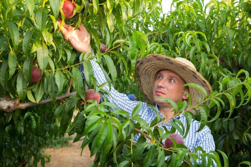 Un grand jardinier en chapeau ramassant les pêches fraîches de l'arbre image stock