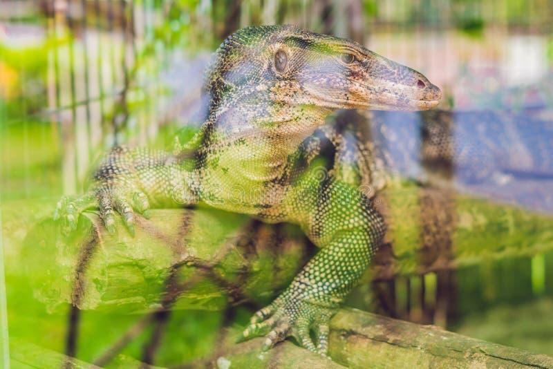 Un grand lézard dans la mini-serre du zoo derrière le verre photo stock