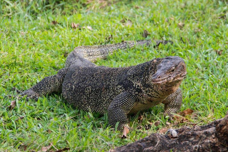Un grand lézard de moniteur mesuré en parc en Thaïlande chasse sur l'herbe images libres de droits