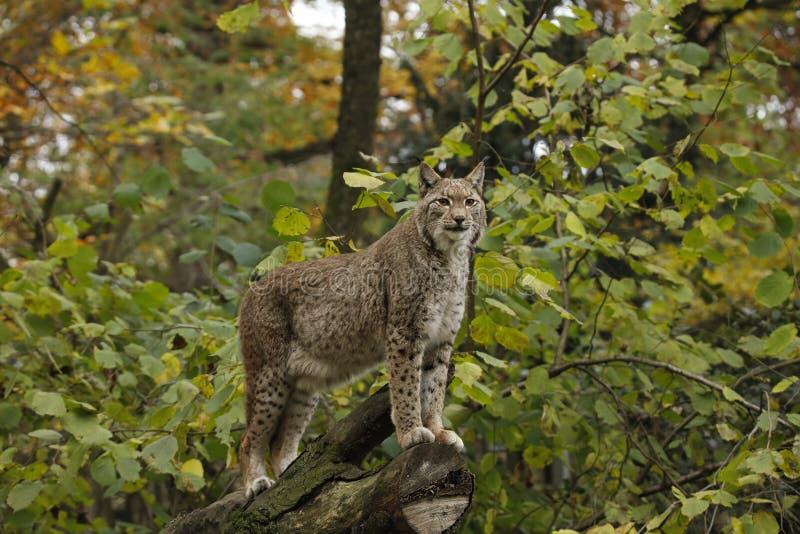 Un grand lynx eurasien, chat prédateur image stock