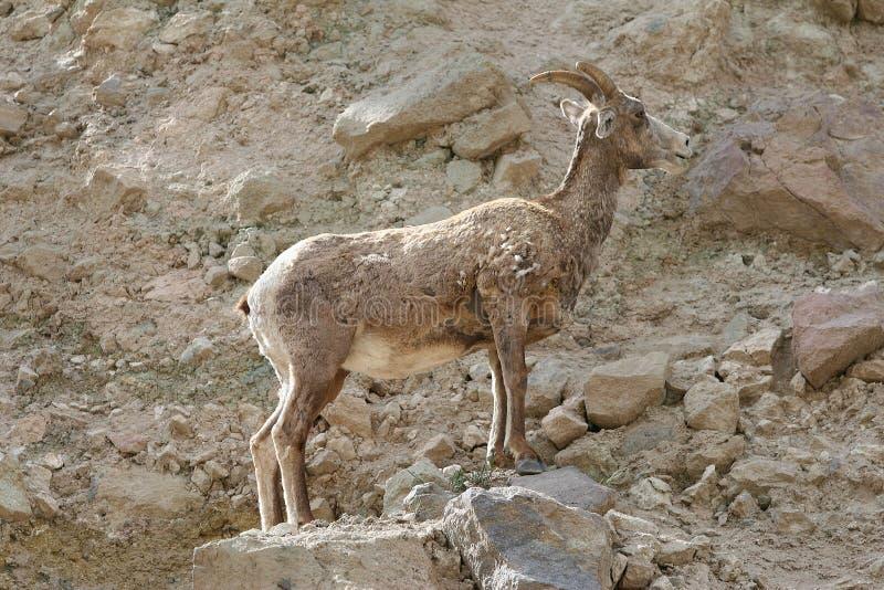 Un grand mouton majestueux de klaxon se tenant sur des roches images stock