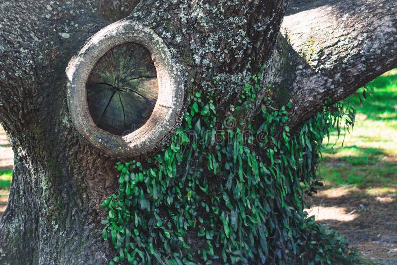 Un grand noeud dans le tronc d'un arbre photographie stock libre de droits