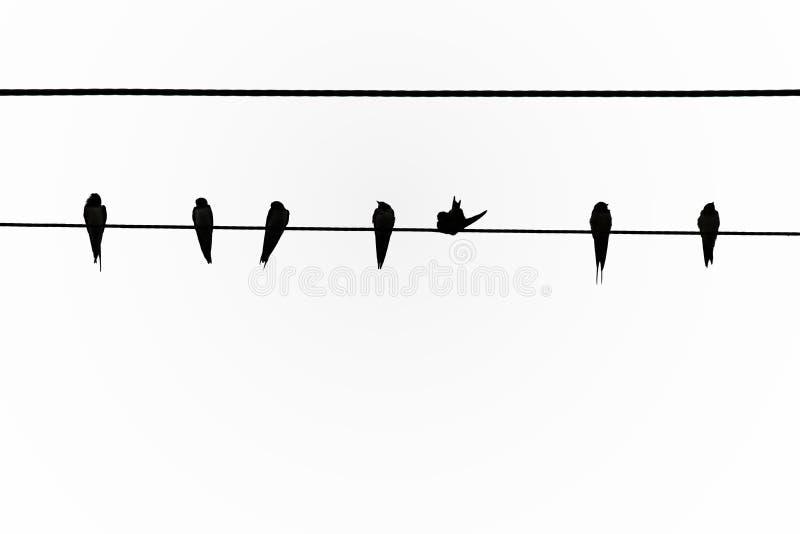 Un grand nombre d'oiseaux sont sur la ligne électrique Dans les zones rurales, au temps de coucher du soleil illustration de vecteur