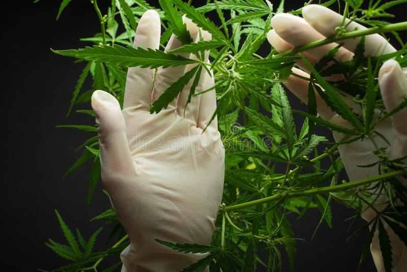 Un grand nombre de cannabis fleurit les mains des concepts des employés de Medetsinsky de culture prodigue images stock