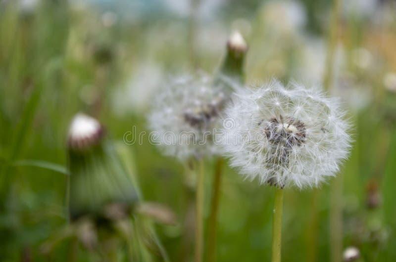 Un grand nombre de pissenlits de floraison parmi l'herbe photographie stock libre de droits
