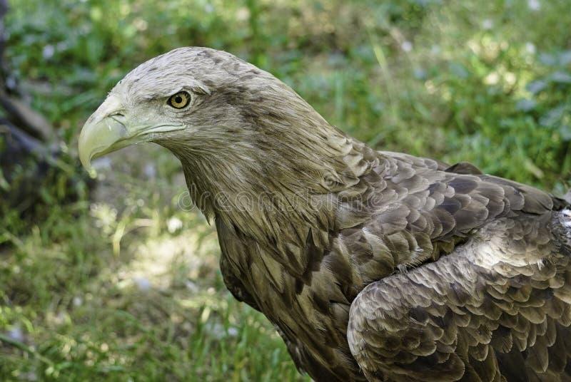 Un grand oiseau de proie sur un fond naturel vert photographie stock