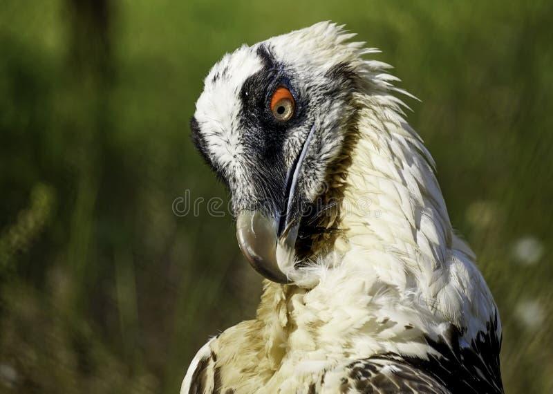 Un grand oiseau de proie sur un fond naturel vert images libres de droits