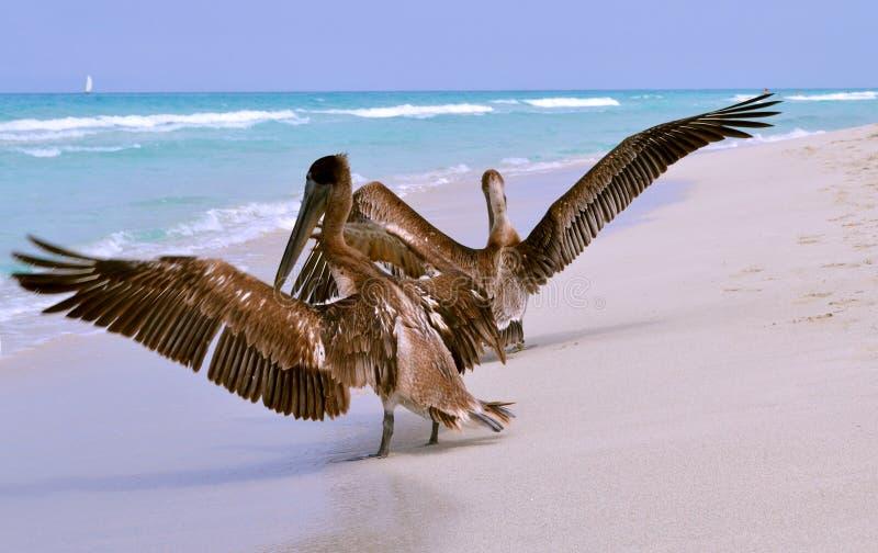 Un grand pélican gris sur la plage de sable de Varadero, Cuba photographie stock libre de droits