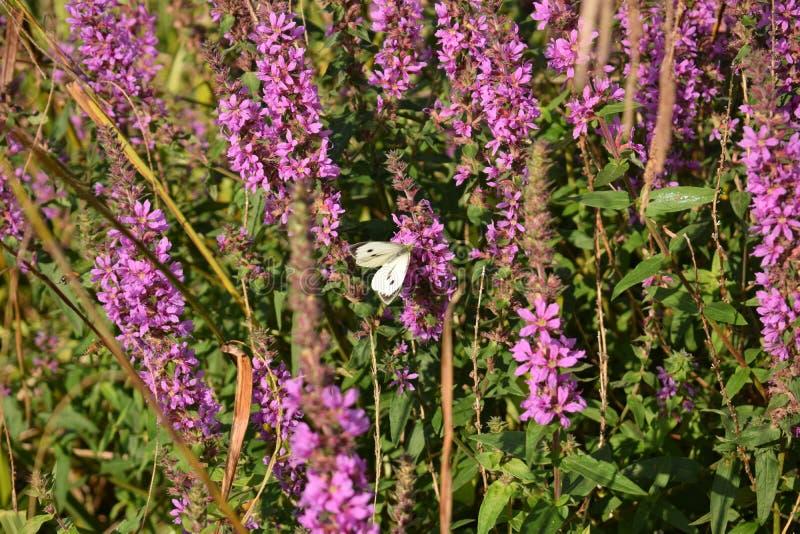 Un grand papillon blanc sur les fleurs roses images stock