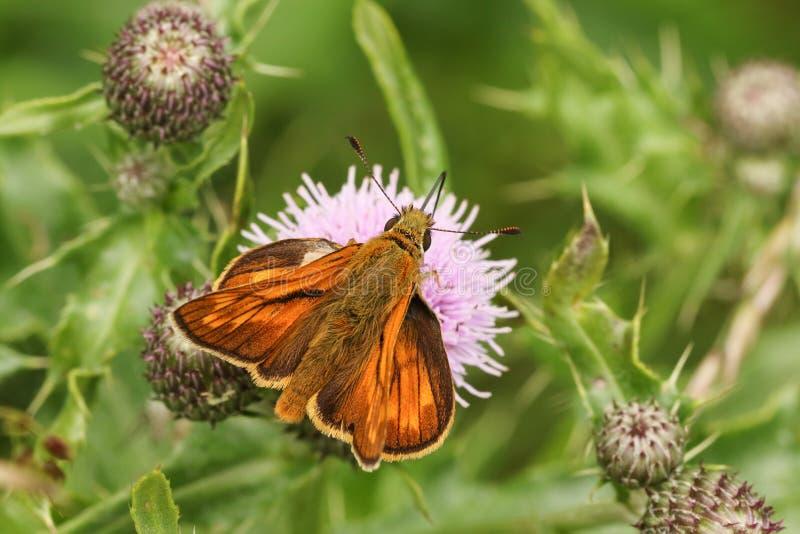 Un grand papillon de capitaine, sylvanus d'Ochlodes, été perché sur une fleur de chardon avec ses ailes ouvrent nectaring images libres de droits