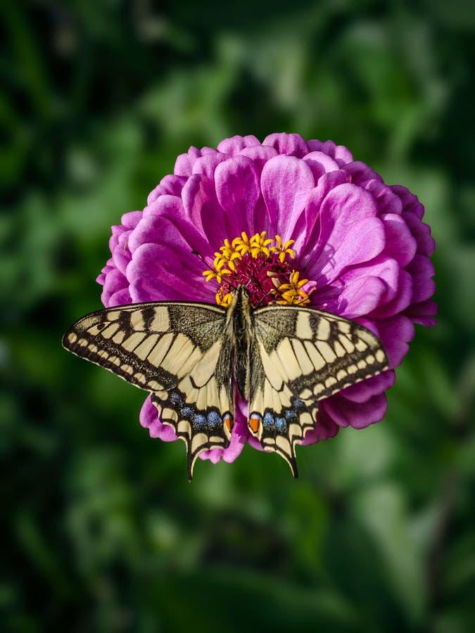Un grand papillon de machaon se repose sur une fleur magenta de Zinnia Le machaon de Papilio, le machaon de Vieux Monde, est un p image libre de droits