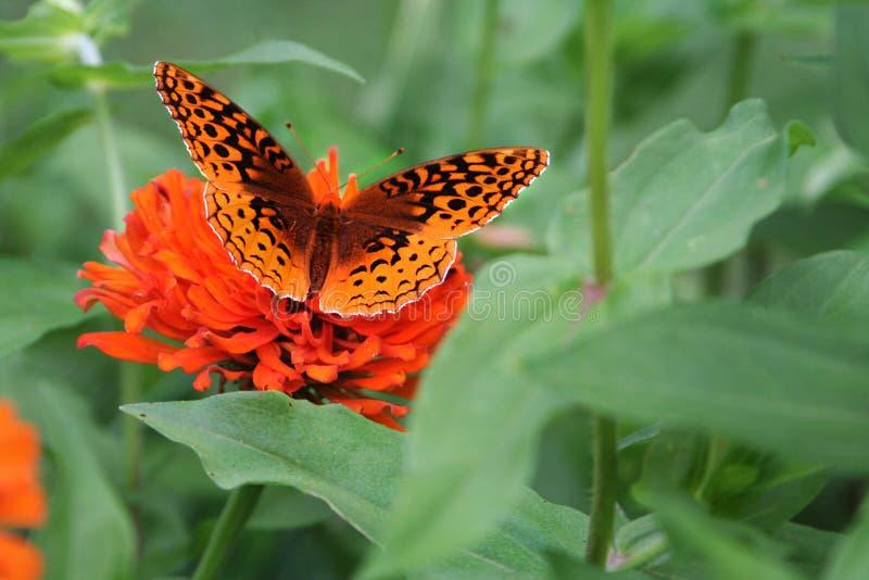 Un grand papillon orné de paillettes de fritillaire cherche un repas dans un lit de zinnia images libres de droits