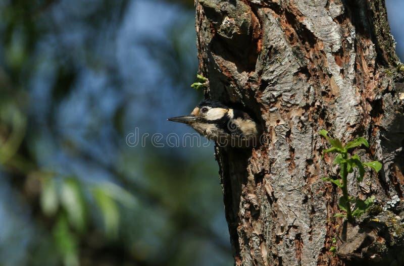 Un grand pivert rep?r? assez femelle, Dendrocopos principal, ?mergeant de son trou d'embo?tement dans un saule image libre de droits
