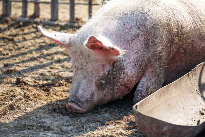 Un grand porc rose dort à côté de sa cuvette pour la nourriture Exploitation d'?levage photographie stock libre de droits