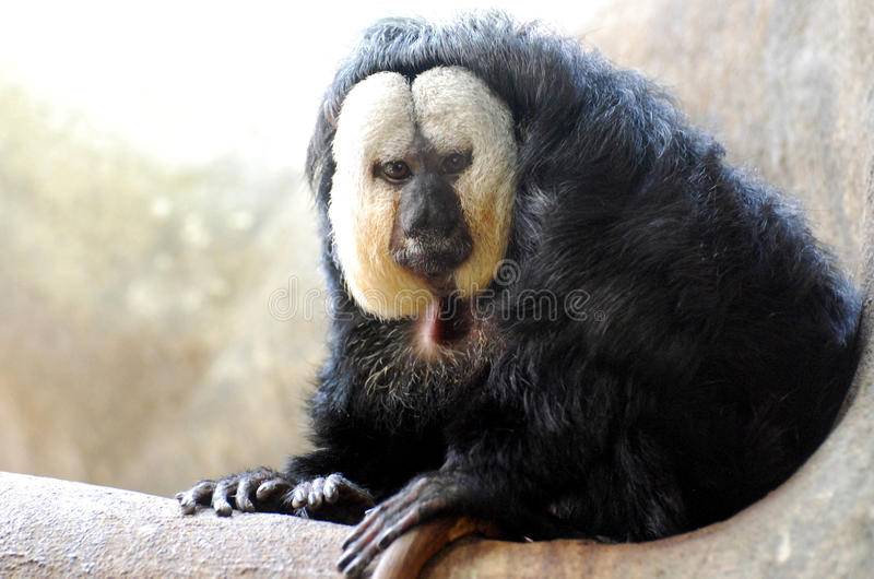 Un grand regard à un blanc s'est posé à Saki Monkey photo stock