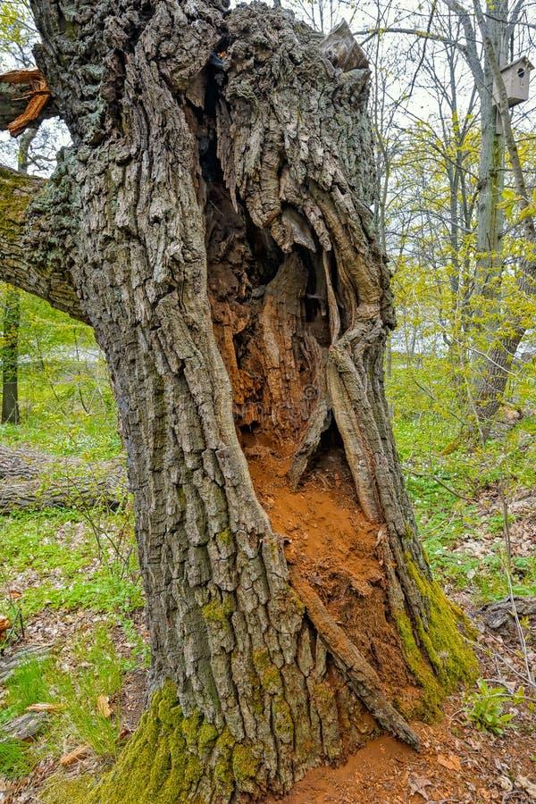 Un grand tronc d'arbre creux photographie stock libre de droits