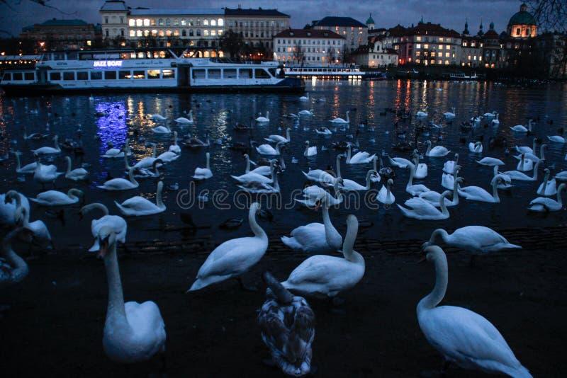 Un grand troupeau des cygnes nageant la nuit en rivière de Vltava images libres de droits