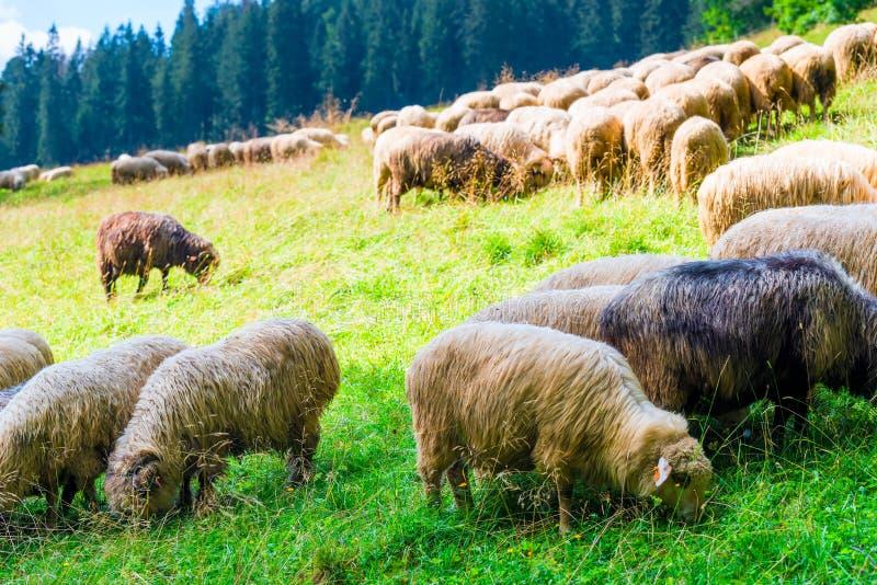 Un grand troupeau des moutons sur un pré vert sur une pente des montagnes photos stock