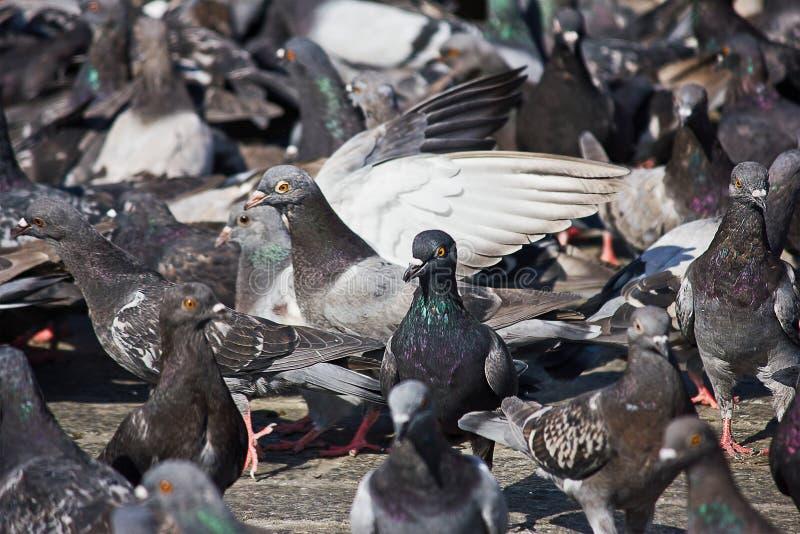 Un grand troupeau des pigeons images stock