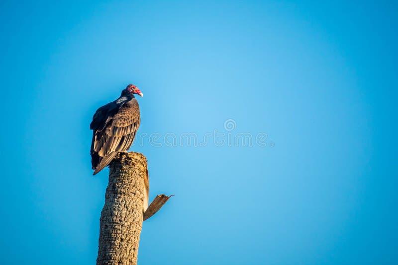 Un grand vautour de Turquie dans les marais parc national, la Floride photos libres de droits