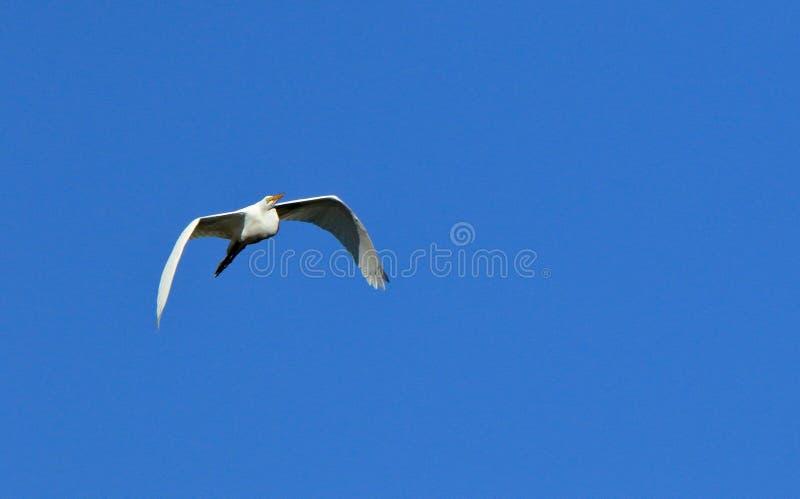 Un grand vol de héron avec un ciel bleu comme fond photographie stock libre de droits