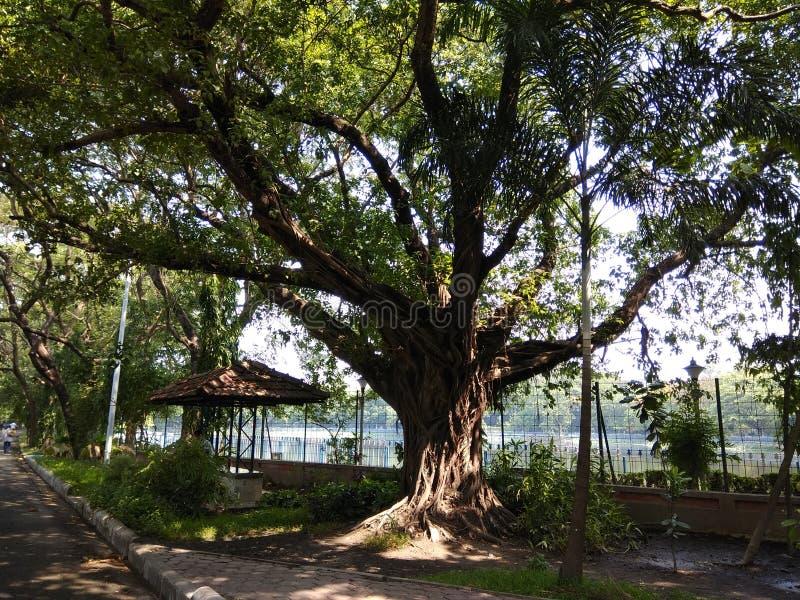 Un grande albero fotografia stock libera da diritti