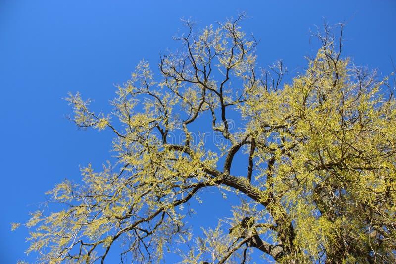Un grande albero che germoglia le giovani foglie verdi nella primavera immagine stock libera da diritti