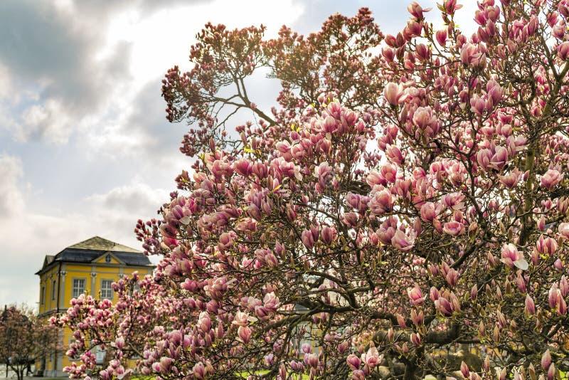 un grande albero della magnolia in fiore immagine stock libera da diritti