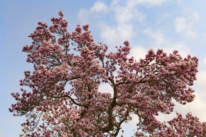 un grande albero della magnolia in fiore fotografia stock libera da diritti