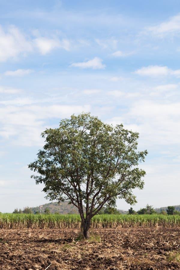 Un grande albero nei giacimenti della canna fotografia stock libera da diritti