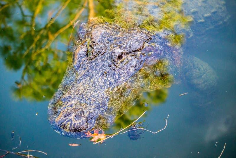 Un grande alligatore americano a Orlando, Florida fotografia stock libera da diritti