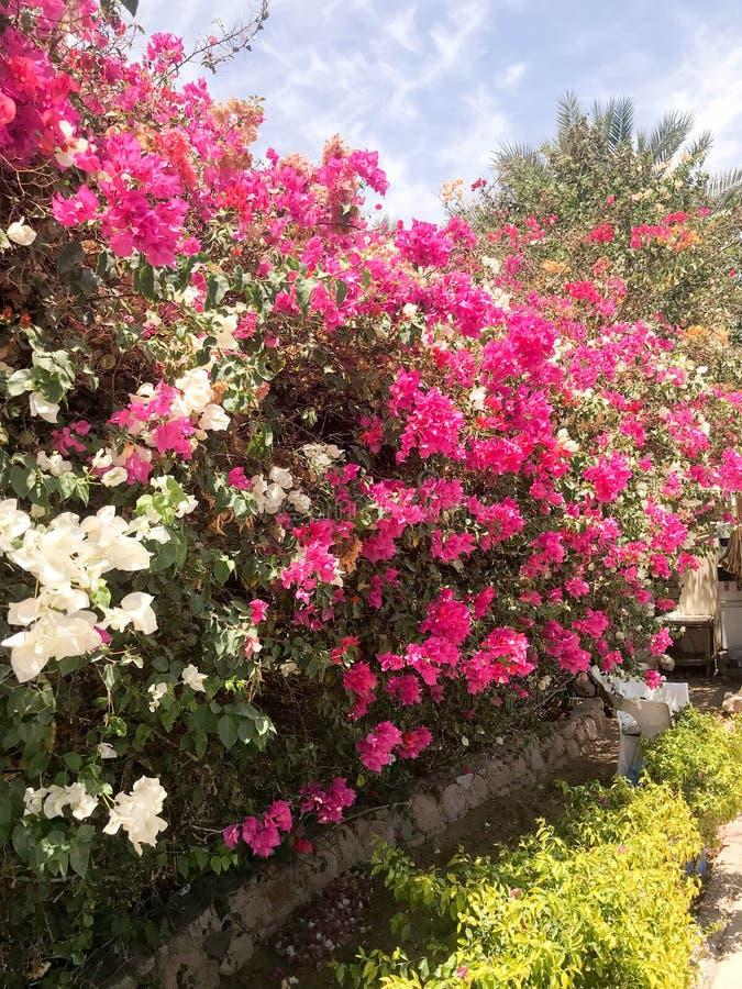 Un grande bello arbusto fertile, una pianta tropicale esotica con i fiori bianchi e porpora, rosa con i petali delicati e le fogl fotografie stock