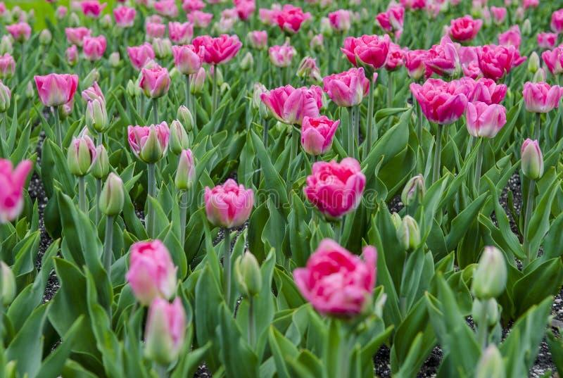 Un grande campo dei tulipani rosa luminosi con i gambi verdi fotografia stock libera da diritti