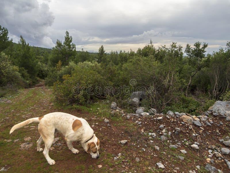 Un grande cane bianco-rosso cammina un giorno di inverno soleggiato attraverso il legno e le montagne sull'isola greca di Evia, G fotografie stock