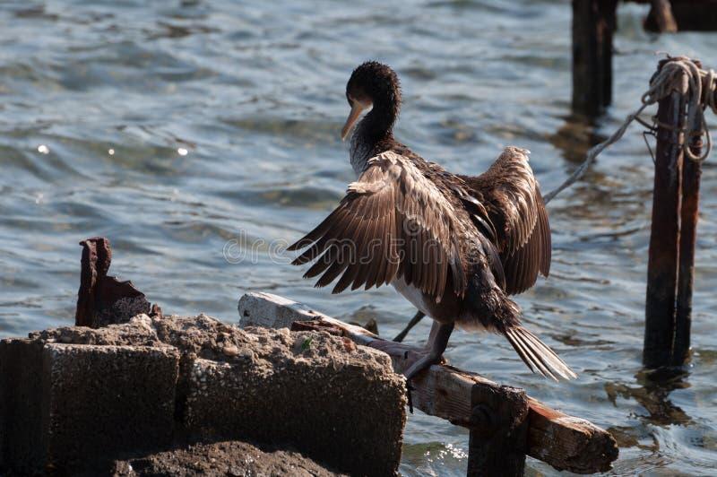 Un grande carbo del Phalacrocorax del cormorano che asciuga le sue ali fotografia stock libera da diritti