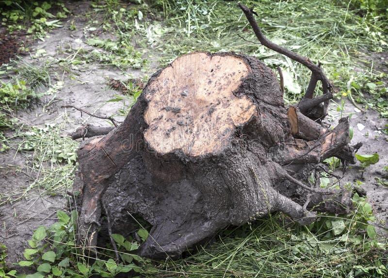 Un grande ceppo di albero sradicato con le radici fotografie stock