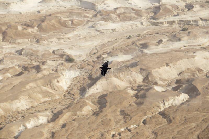 Un grande corvo nero che si libra ad un'altezza tremenda sopra la s fotografia stock