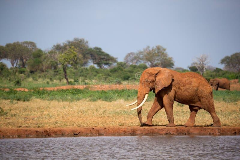 Un grande elefante rosso sta camminando sulla banca di un foro di acqua immagine stock libera da diritti