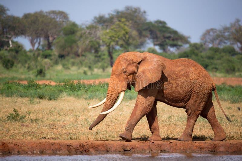 Un grande elefante rosso sta camminando sulla banca di un foro di acqua fotografia stock