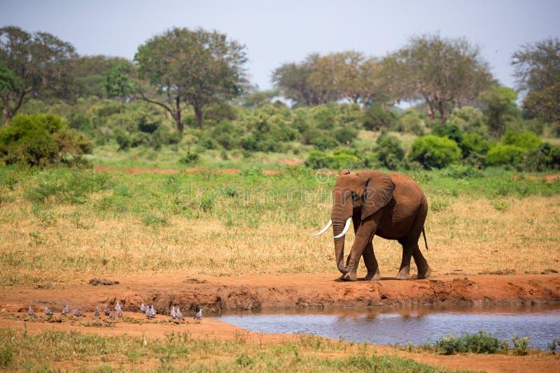 Un grande elefante rosso sta camminando sulla banca di un foro di acqua fotografia stock libera da diritti