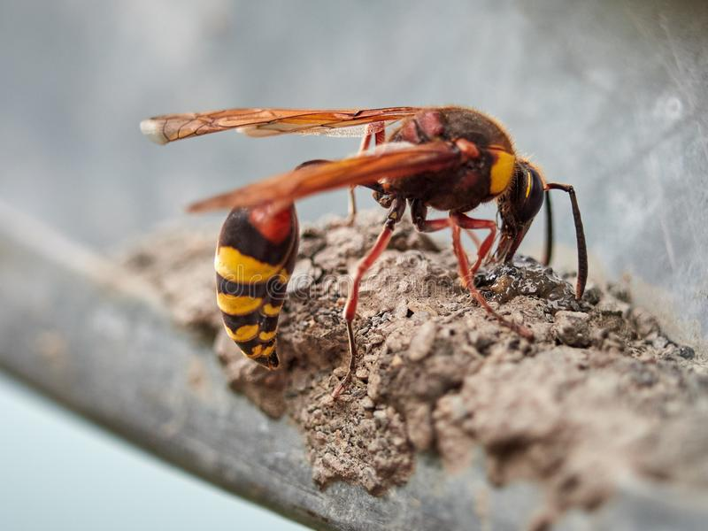 Un grande Eumenes della vespa costruisce un nido dalla terra fotografia stock libera da diritti