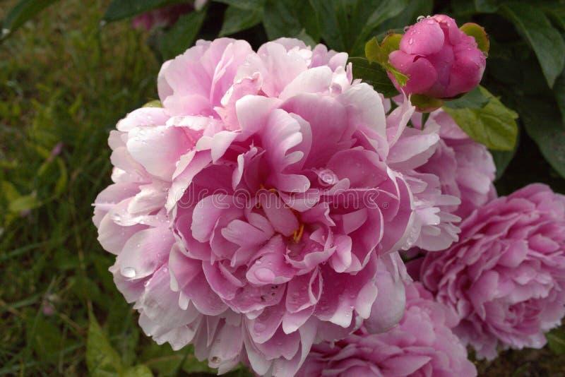 Un grande fiore rosa dopo una pioggia fotografia stock