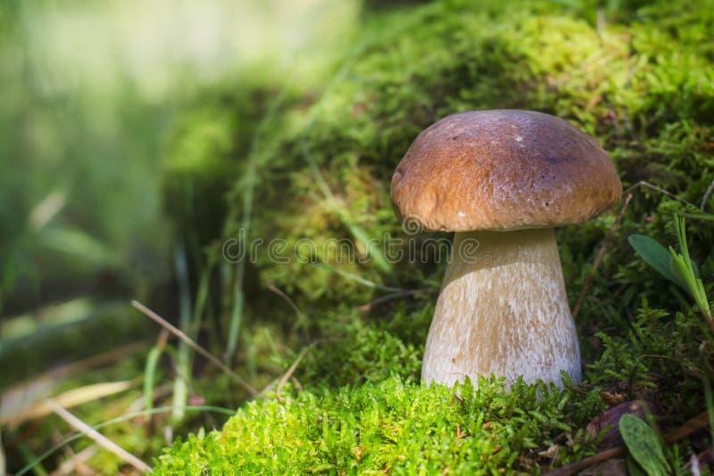Un grande fungo bianco si sviluppa su muschio Il sole illumina brillantemente il fungo immagini stock libere da diritti