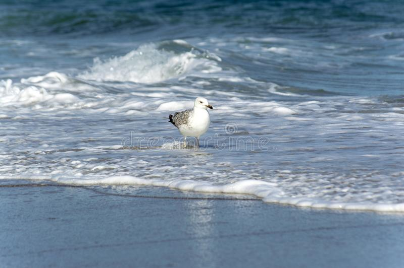 Un grande gabbiano di mare che cammina seguendo la linea della spuma del mare immagine stock